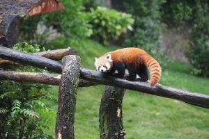 Panda roux au Parc zoologique et botanique de Mulhouse