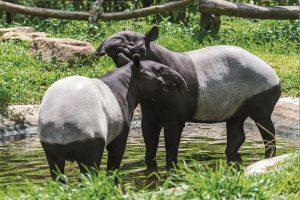 Zoo de Mulhouse - Malayan tapir (tapirus indicus) Thailand